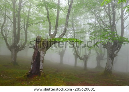 foggy spring beech forest