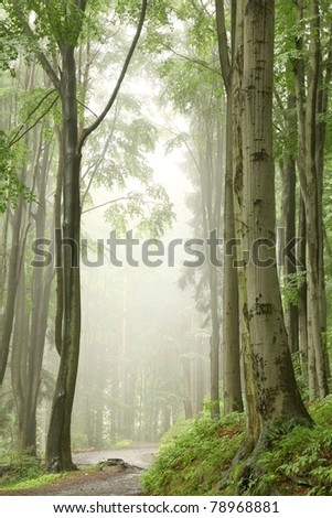 Foggy spring morning in the beech forest on the slope during rainfall. - stock photo