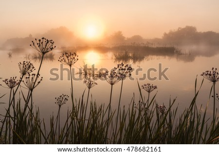 Foggy sunrise on a small river in Polesie overgrown with Butomus umbellatus