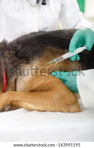 fokus on injection, veterinary surgeon is giving the vaccine to the dog German Shepherd - stock photo