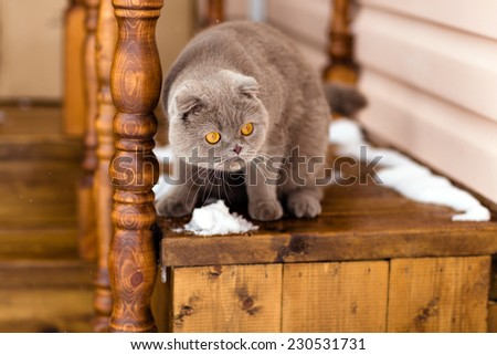Fold grey cat with yellow eyes sitting on wooden stairs - stock photo