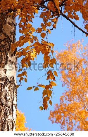 Foliage of a birch close up in the autumn
