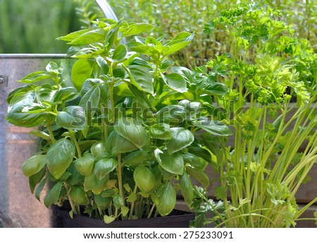 foliage of basil, parsley in garden - stock photo
