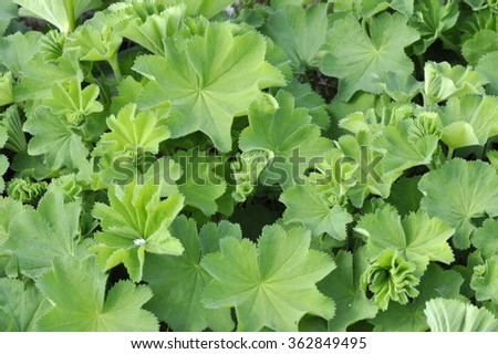 Foliage of lady's mantle plant Alchemilla vulgaris - stock photo