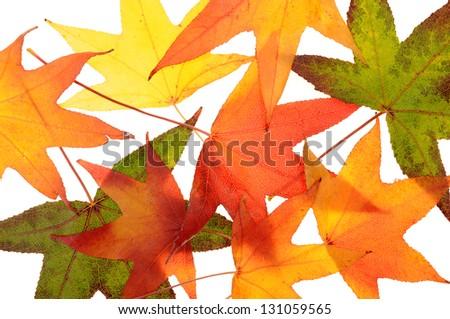 foliage of maple leaves on white background - stock photo