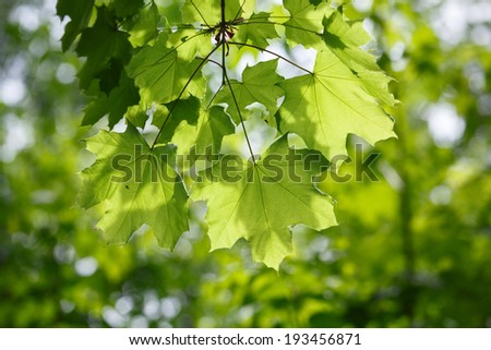 foliage of maple over blurry background of forest, early sun backlit   - stock photo
