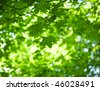 foliage of mapple on a blurry background of foliage - stock photo