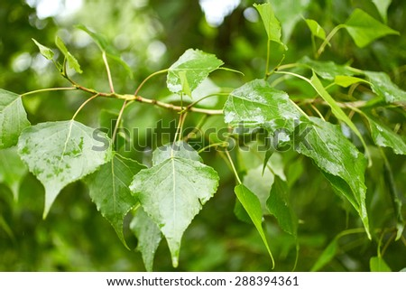 Foliage of poplar tree. Nature background - stock photo