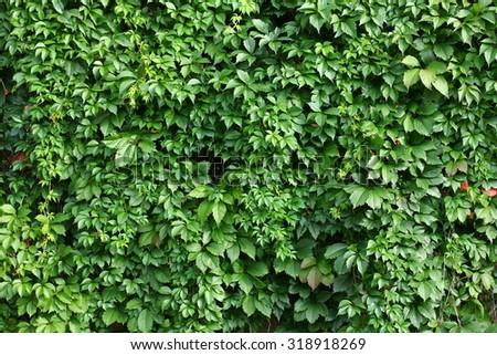 Foliage wild grapes background. - stock photo