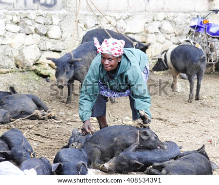FOND BAPTISTE, HAITI - FEBRUARY 18, 2016:  A senior woman looking up at the viewer as she stoops to pick up tied a pigs to take home from the Fond Baptiste, Haiti, market.  Others pigs surround her. - stock photo