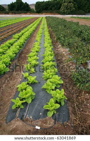 food crops of various vegtables being grown in rows on a farmers field in Irvine California - stock photo