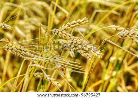 Food or agriculture concept: beautiful golden yellow ears of wheat in a farm cereal field. - stock photo