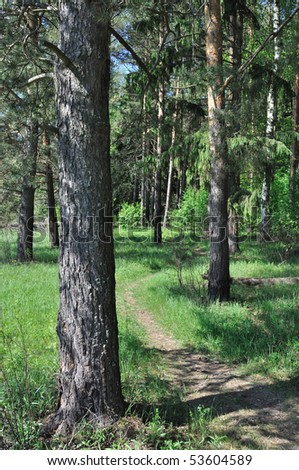 Foot path between pine trees in forest