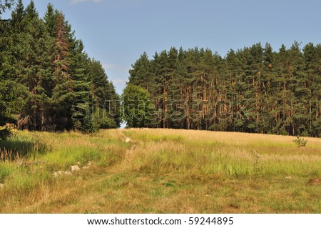 Foot path in coniferous forest
