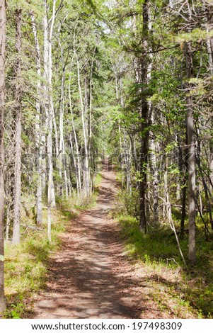 Footpath in boreal forest taiga of the Yukon Territory, Canada, lined with aspen, Populus tremuloides, and black spruce, Picea mariana - stock photo