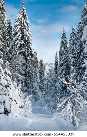 Footpath in white snow in a forest of green pines and firs