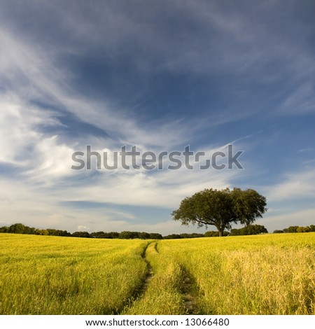 footpath leads across golden yellow field to the distant horizon under a blue cloudy sky - stock photo