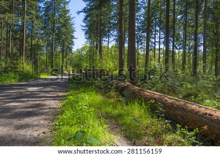Footpath through a pine forest in spring  - stock photo