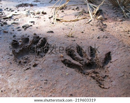 Footprint of crab-eating raccoon - stock photo