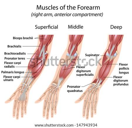Forearm Flexor Muscles Labeled Stock Illustration 147943934