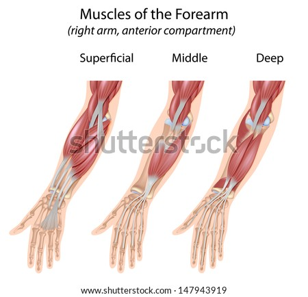 Forearm flexor muscles, unlabeled  - stock photo