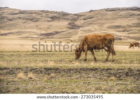 forefront of pet cows grazing in a meadow Beautiful Red domestic animal in mountains , Ireland in spring time - stock photo