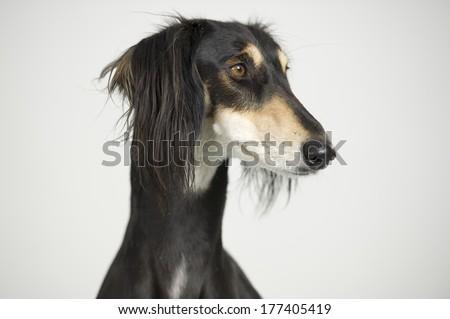 Foreground - Head of a Persian greyhound race Saluki posing - stock photo