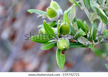 foreground of acorns on the oak still green - stock photo
