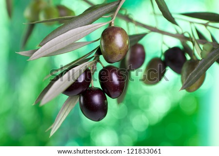 foreground olive branch with olives. Andalucia.  Spain. - stock photo