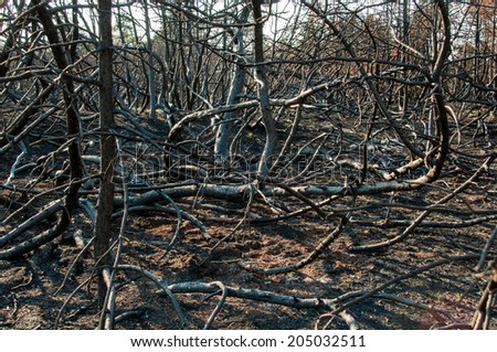 Forest after fire with burned trees