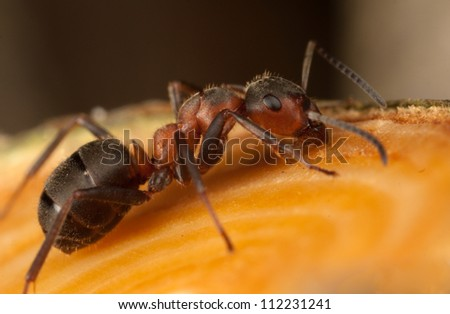 forest ant - stock photo