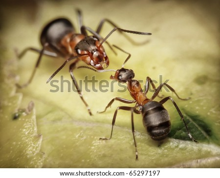 forest ants, worker and soldier - stock photo
