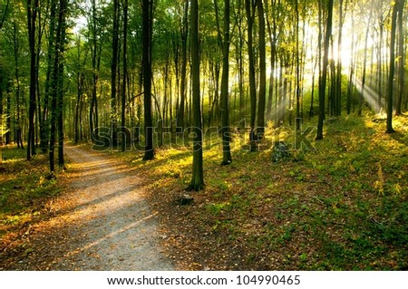 Forest. Autumn dawn in old beech forest. Poland. - stock photo