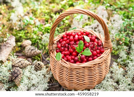 Forest berries. Ripe juicy cowberry in wicker basket in the autumn forest. Selective focus - stock photo