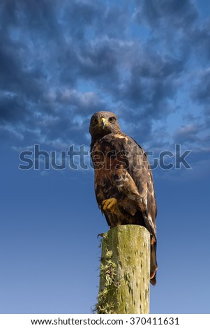 forest buzzard bird with a fixed gaze a raptor standing on a high post while hunting against a blue clouded background sky - stock photo