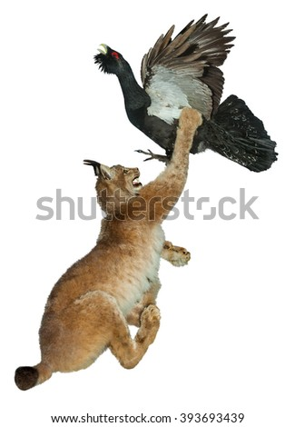 Forest cat lynx attacks the bird capercaillie.The fight for life.