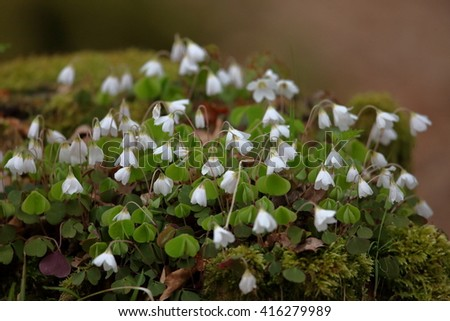 forest Clover - stock photo