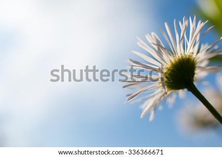 Forest daisy. - stock photo