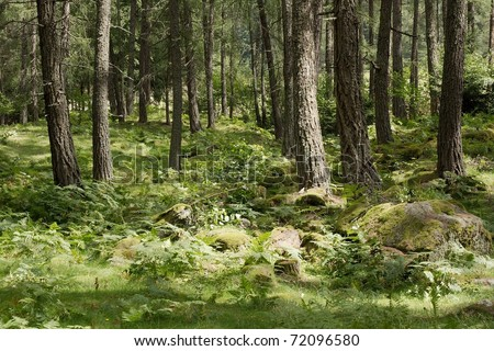 Forest detail with pine trees - stock photo