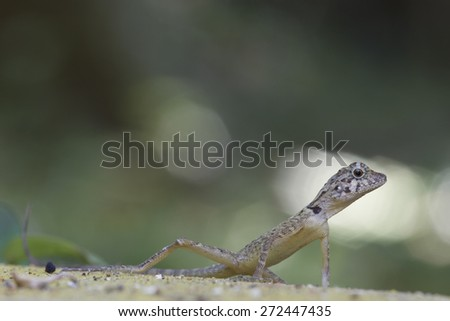 Forest dragon of the tropical forests of India. Macro photo of reptiles sdelennoe in the rainforest of the island Little Andaman, Andaman Sea.  - stock photo