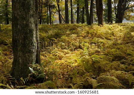 Forest Ferns in Autumn
