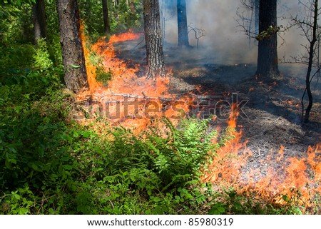 Forest fire burns green grass away. Shot in pine forest park, Ukraine.