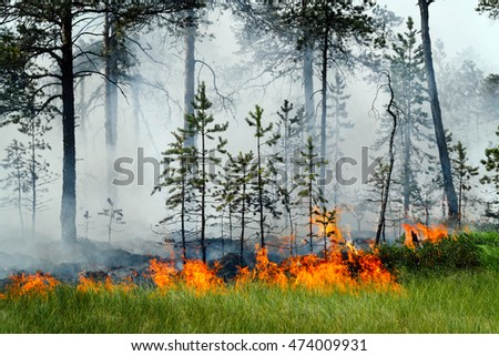 Forest fire in pine wood