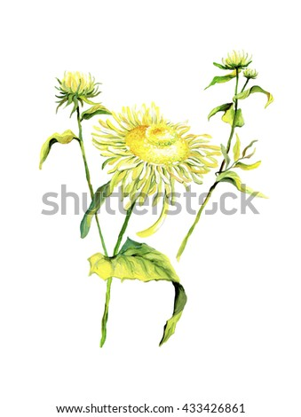 Forest flower chamomile isolated on white background. Color drawing of daisies with leaves. - stock photo