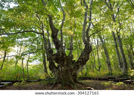 Forest Giants of Japan (beech tree) Nikaho-shi, Akita, Japan / superb view in japan