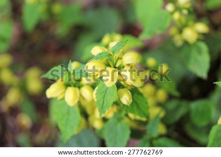 Forest herb with yellow petals close up - stock photo