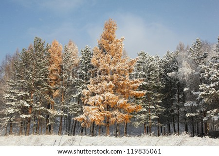 forest in altai's mountains at winter - stock photo