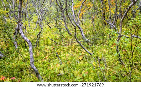 Forest in Asbyrgr, Northern Iceland - stock photo