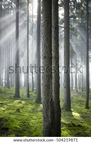 forest in fog and sun stripes