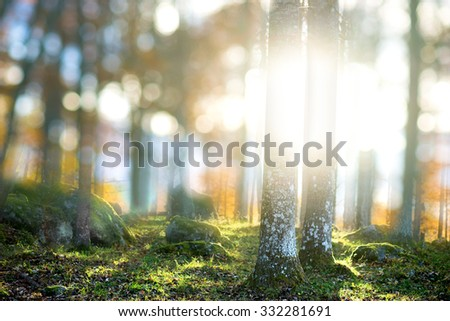 Forest in magic soft light from evening sun in autumn - stock photo